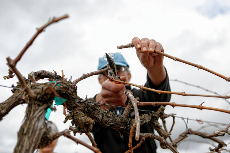 Umass workshop lets grape lovers garden play - Spring trimming orchard trees healthy ...