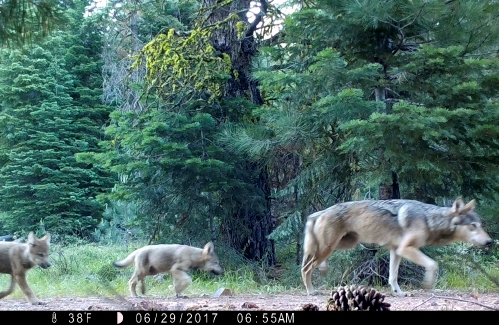 Groups want gray wolf protections restored - GazetteNET