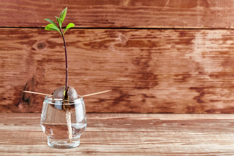 Regrow Fruits and Vegetables Avocado Tree Growing in Glass