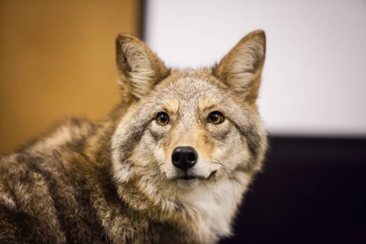 State wildlife officials reviewing coyote killing contests