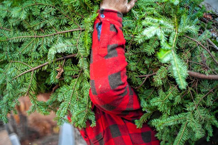 Christmas Tree Farm Pictures.One Of The Oldest Stump Sprouts Christmas Tree Farms
