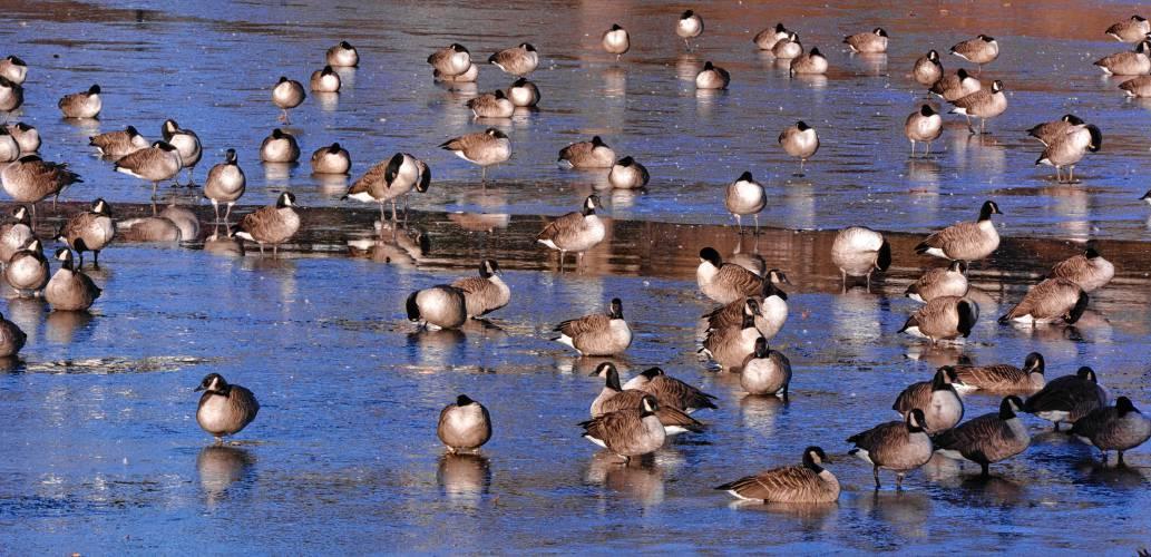 False alarm over 'frozen' flock at Paradise Pond