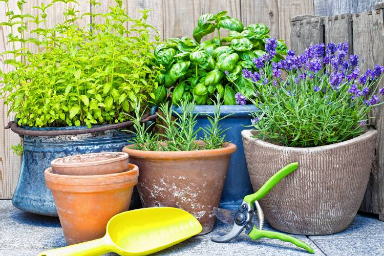 Buzz Off Ask A Local Master Gardener About Mosquito Repellent Plants