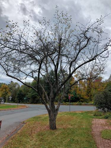 Get Growing Why Crabapple Trees Are Looking Sad This Year And What To Do About It
