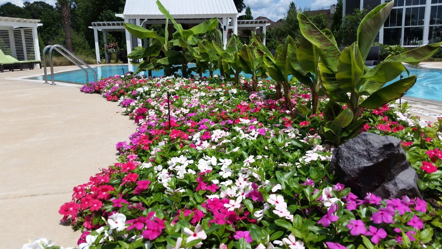 on gardening cora cascade vinca spreading color and happiness