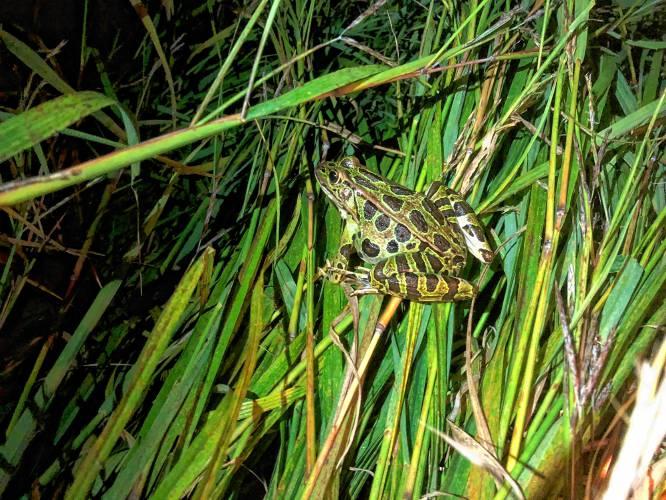 A leopard frog in a meadow at Mass Audubon s Arcadia Wildlife Sanctuary in  Easthampton. Naila Moreira 76b67e22b