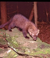 Fishers Among Most Misunderstood And Maligned Species In Region