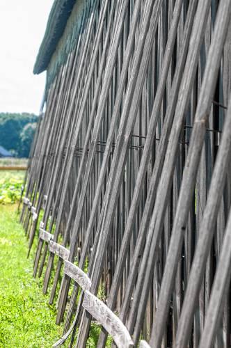 Tradition of tobacco farming sees gradual resurgence in Hatfield