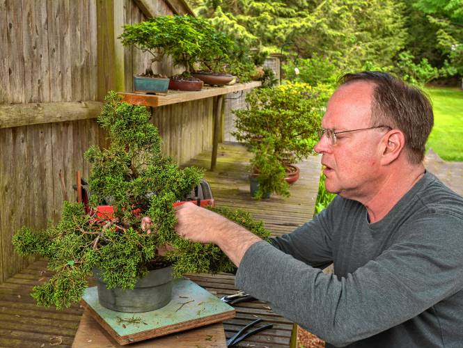 Backyard Bonsai Jim Gipe Of Florence Relaxes With His Sculptures