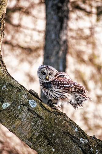 The call of the wild: Injured owls released back to natural